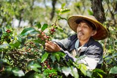 sumatra koptan gayo Sumatra Coffee, Different Coffees, Coffee Varieties, Cowboy Hats, Western Hats