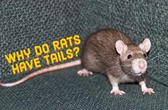 Why do rats have tails? Rat Care, Cute Rats, Animal Crackers, New Adventures, Spirit Animal, Mammals, Animal Pictures, Dog Cat, Cute Animals
