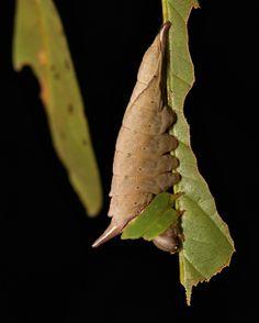 https://flic.kr/p/nRZJfN | Prominent Moth Caterpillar (Neopheosia cf. fasciata, Notodontidae) | Pu'er, Yunnan, China