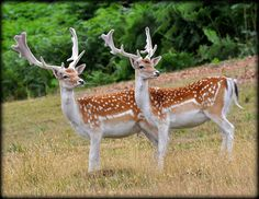 Fallow Deer Stags in matching stance at Knole Park