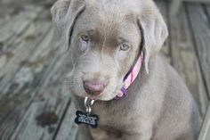 I've always wanted to own a chocolate lab.....but this silver lab has my mind thinking ; ) How pretty!