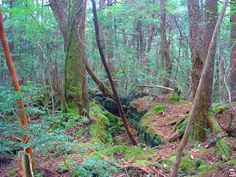 aokigahara forest sea of trees