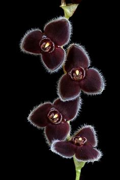 Such beautiful little flowers, almost jewel like! Apparently this orchid species comes from Ecuador.