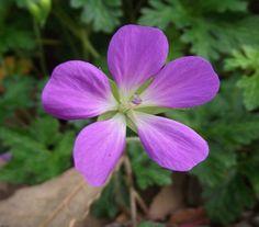 Cuidados de los geranios - http://www.jardineriaon.com/cuidados-de-los-geranios.html