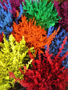 Dyed Heather - bright luminous colours that might be used in a bouquet
