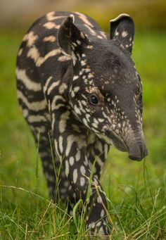 Malayan Tapir is found in South America, Central America & Southeast Asia. http://imgzu.com/image/eatrF1