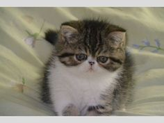 Adorable petite chatonne Exotic Shorthair (persan poil court) de couleur brown mackerel tabby et blanc née le 27 décembre 2013. Pedigree LO...