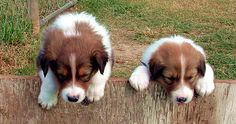scotch collie dog photo | Scotch Collie Puppies Currently Available - OldTimefarmShepherd.org