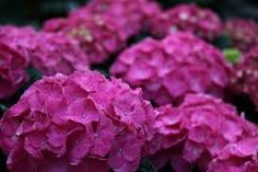 Image result for pink hydrangea