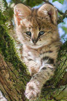 Baby Serval by John W.Du