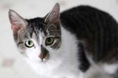 Darma is an adoptable Domestic Short Hair - Gray And White Cat in Muncie, IN. Easy going Darma came to ARF after being rescued from a hoarding situation. She is a great teenager that loves meeting new...