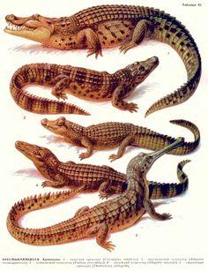 Пресмыкающиеся: крокодилы.