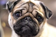 Sweetest little pug face