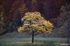 Ahorn Bäume am Ahornboden in den Tiroler Alpen