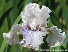 Haunted Heart | Tall Bearded Iris