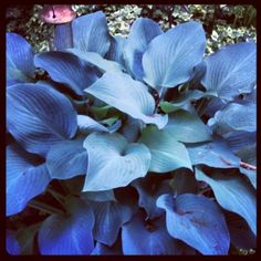 Giant Blue Hosta (spotted by @Bettieawa142 ) how unusual