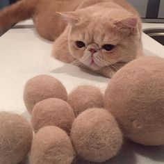 おはようございマッシュ! みなさん台風気を付けてね。 僕もマッシュ玉見て 留守番頑張りマッシュ。 #この後お決まり大荒れ #留守番寝とるだけやろ #マッシュ玉 #お手入れの賜物 #価値はなし #mash1126a #マッシュのぺちゃんこライフ #cat #マッシュ #エキゾチックショートヘア #ねこ #ネコ #猫 #kitty #neko #猫部 #ねこ部 #ねこあつめ #にゃんだふるらいふ #猫莫迦 #catstagram #ExoticShorthair #catsofinstagram