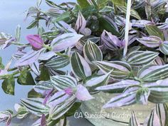 Tradescantia Fluminensis Lavender Lilac Variegated Wandering Jew TriColor Inch Plant RARE Starter House Plant Suitable for hanging basket Succulent Cuttings, Plant Cuttings, Planting Succulents, Propagation, Hanging Baskets, Hanging Plants, Wondering Jew Plant, Silver Dollar Plant, Lilac