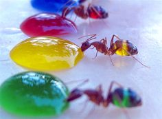 Rainbow-Colored Ants - Don't know if I'd do it, but even just the pictures are neat!