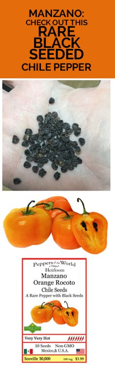 """MANZANO CHILE PEPPER: This pepper is very unique because it has black seeds, and hairy leaves. It blooms with beautiful six-point star shaped flowers. It has a small 2"""" apple shape, and pod flesh is thick, and the flavor is sweet with a citrus taste. Grow your own with our gmo-free organic seeds: http://www.sandiaseed.com/products/manzano-orange-rocoto"""