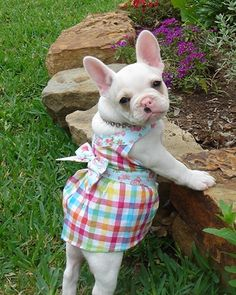 I guess if I was a dog...this might be what I look like...short legs...pudgy...pale with big ears..but cute as hell