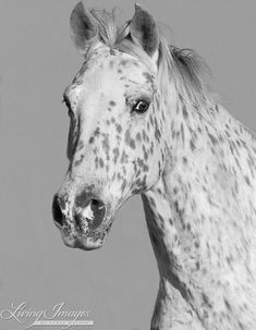 Leopard Appaloosa Portrait - Fine Art Horse Photograph - Horse - Black and White - Fine Art Print Leopard Appaloosa, Appaloosa Horses, Equine Photography, Horse Love, Black And White Pictures, Wild Horses, Beautiful Horses, Beautiful Creatures, Fine Art Prints
