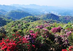 """Baili Azalea scenic area is located in the juncture of Guizhou area of Bijie Province, Qianxi county because of the generous, natural Rhododendron forest bandwidth of 1 to 3 km, stretches more than 50 km (100 miles), the total area of 125.8 square kilometers and its name. Azalea is """"the world's largest natural garden"""", """"earth ribbons, the world garden"""" the laudatory name."""