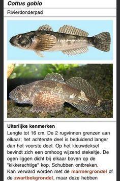 Deze gratis digitale gids Zoetwatervissen van Nederland maakt deel uit van een serie mobiele informatiesystemen voor het herkennen van soorten in de natuur. Ze zijn ontwikkeld door ETI BioInformatics in het kader van het EU KeyToNature project dat beoogt flora- en fauna-informatie snel en makkelijk toegankelijk te maken. <br/><br/>Deze e-guide bevat:<br/>- Foto's en/of tekeningen van 42 inheemse soorten, plus 31 geïntroduceerde soorten<br/>- Gegevens over uiterlijk, gelijkende soorten…