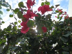Pink flowers in Cozumel, Mexico