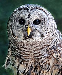Hunter, barred owl - Photo by Dave Mills