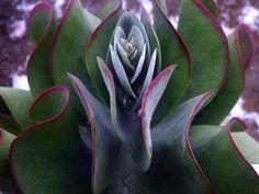 Kalanchoe luciae Succulent Ideas, Succulent Gardening, Cacti And Succulents, Planting Succulents, Air Plants, Garden Plants, Desert Dream, Incredible Gifts, Miniature Plants