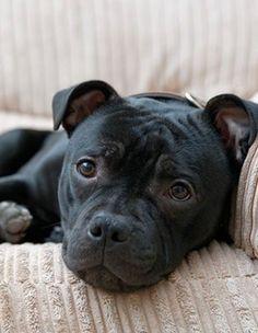 Sasha's twin! Staffy Bull Terrier, Staffy Dog, Doberman Dogs, Terriers, English Staffordshire Terrier, I Love Dogs, Cute Dogs, Rottweiler, Bully Dog