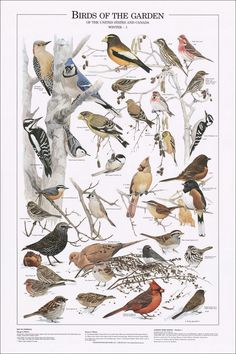 Birds of the Garden: Winter I Identification Chart