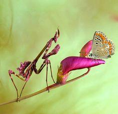 Beautiful Macro Photos of Praying Mantises