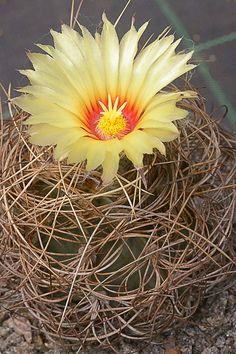 Astrophytum capricorne var. senile fma. aureum