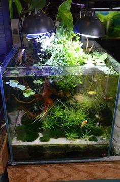 Nano Tanks are fantastic! But hard to maintain Aquarium Setup, Home Aquarium, Nature Aquarium, Aquarium Design, Saltwater Aquarium, Planted Aquarium, Freshwater Aquarium, Aquarium Fish, Aquarium Ideas