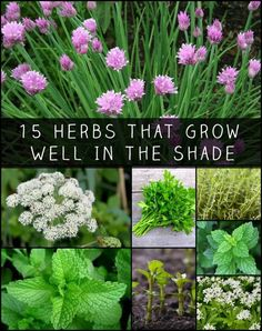 15 Herbs That Grow Well In The Shade - garden landscaping Shade Garden, Garden Plants, Flowering Plants, Fruit Garden, House Plants, Organic Gardening, Gardening Tips, Vegetable Gardening, Diy Jardim