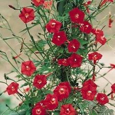 hummingbirds love red morning glories. Red Morning Glory Vines / Kırmızı Sabah Sefası sarmaşığı.