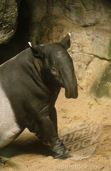 Malayan Tapir *Endangered* (Tapirus indicus) Burma, Sumatra (4179-26102 / MAM 210WEP003 01 © Animals Animals)