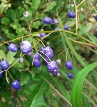 Dianella nigra striking blue berries, native to New Zealand Native Plants, New Zealand, Nativity, Berries, Scenery, Landscape, Floral, Nature, Flowers