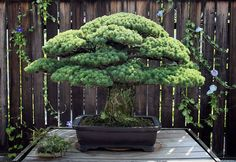 """Planted in 1625, this bonsai tree is currently 391-years-old and has survived the atomic bomb attack on Hiroshima. The tree belonged to the Yamaki family, who in 1945 lived just two miles away from the spot on which which """"Little Boy,"""" the bomb that killed an estimated 140,000 people, was dropped. Somewhat amazingly, the tree […]"""