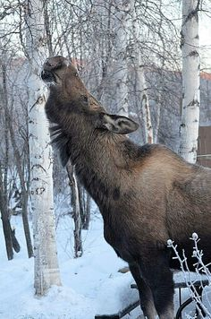 Moose. Fox, Alaska by Gary Kallberg. She is standing by a full size picnic table.