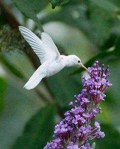 beija-flor branca meu coração