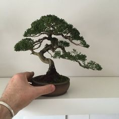 Bonsai Tree Care for Beginners Bonsai Tree Price, Buy Bonsai Tree, Japanese Bonsai Tree, Bonsai Trees For Sale, Bonsai Tree Types, Bonsai Tree Care, Indoor Bonsai Tree, Indoor Trees, Mame Bonsai