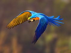 Ave da Amazonia, a arara azul sofre a ameaça de extinção.
