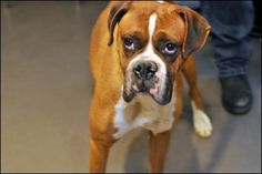 Michelangelo: A 3YO Boxer. I may look sad but I'm the happiest (and chillest) pup in the world! I like giving nose bump kisses too.