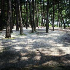 #bluesman7777 松林の木漏れ日 #jidori0722 @ 室積海水浴場