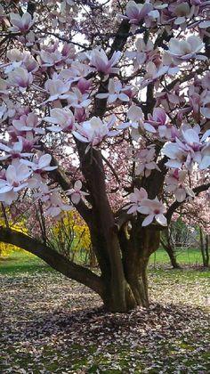 Magnolia × soulangeana - Hibrid liliomfa