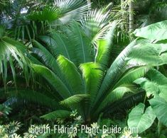 Cycad Plants Cycad plants are handsome, palm-like plants (often referred to as palms) with legendary ancient ancestry in the plant kingdom. Today theyre among the most eye-catching landscape plants in South Florida.