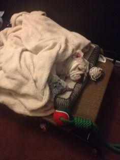 Bulldog sleeping through the rain